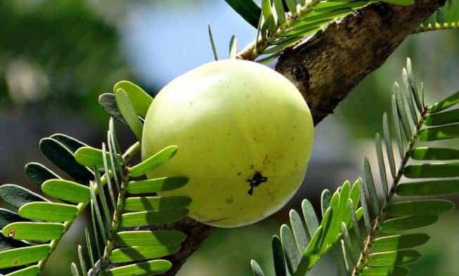 Amla (l'uva spina indiana)