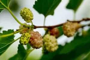 fruta de morera blanca en el arbusto